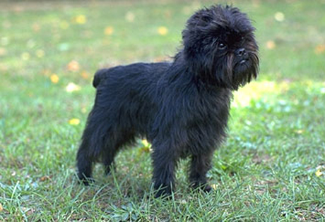 dog images,picture of dogs, photos of dogs, puppy pictures, photos of puppies, puppies pictures, affenpinscher pics