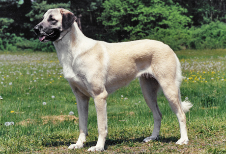 Anatolian Shepherd Dog - American Kennel Club