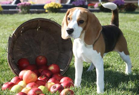 Can Beagles Be Brindle Naturally