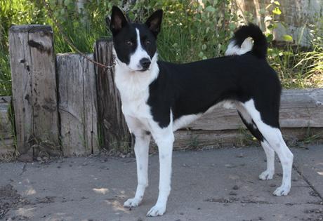 Canaan Dog - American Kennel Club
