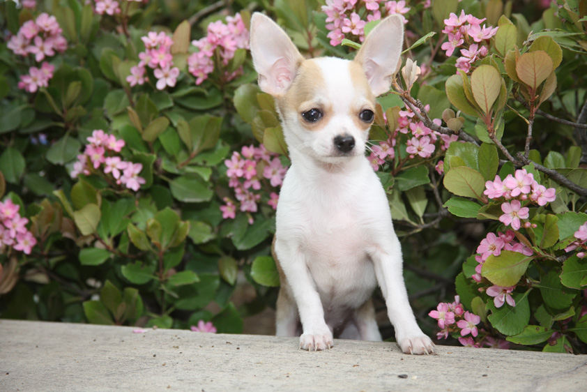right breed for you chihuahuas are alert dogs with terrier like