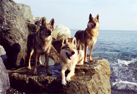 Slovensky Cuvac Puppies