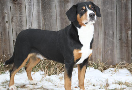 Entlebucher Mountain Dog - American Kennel Club Greater Swiss Mountain Dog Exercise Requirements