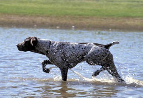 german_shorthaired_pointer.jpg