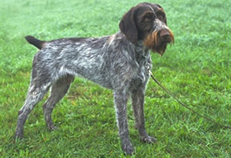 German Wirehaired Pointer - American Kennel Club