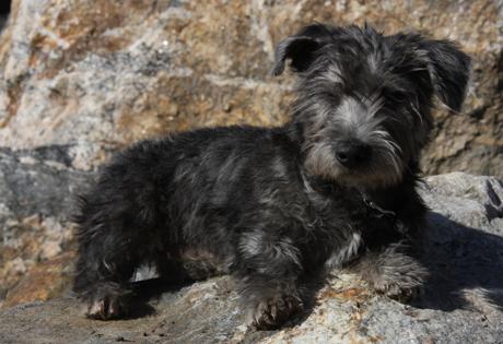 Glen of Imaal Terrier - American Kennel Club