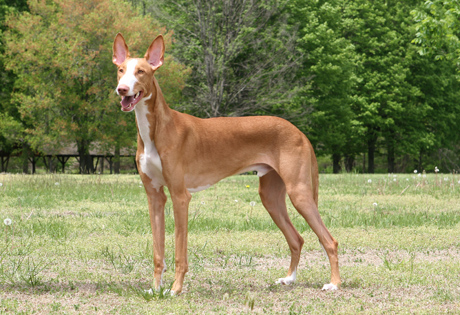 http://images.akc.org/breeds/action_images/ibizan_hound.jpg