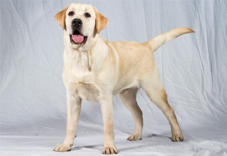 Labrador Dog Breeds
