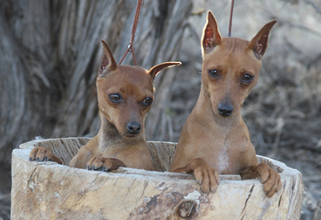 American Kennel Club Miniature Pinscher standard.