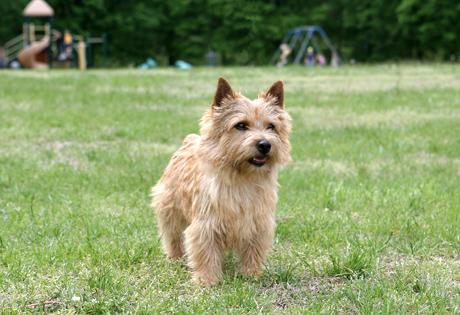 Norwich Terrier - Amer...
