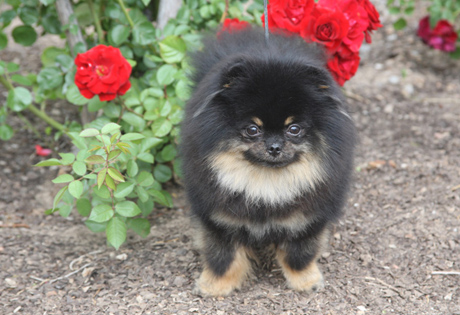 right breed for you pomeranians are very intelligent dogs that love to