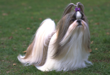 Shih Tzu - American Kennel Club