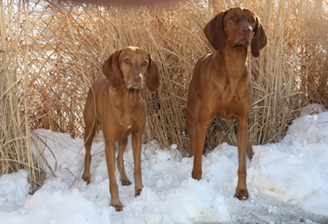 Vizsla - American Kennel Club