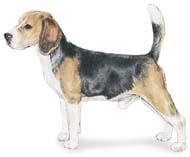 Beagle Breed Standard