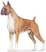 Example of Boxer breed