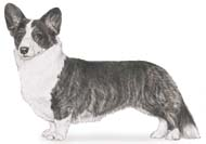 Cardigan Corgi Color Genetics 109