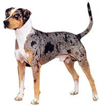 Bull Dog Hound Mix Breed Calendar