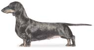 Dachshund (Smooth)