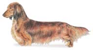Dachshund (Longhaired)