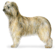 Pyrenean Shepherd - Rough-faced variety