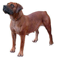 Miscellaneous AKC Dog Breeds Flashcards - ProProfs Flashcards Maker