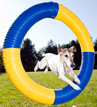 Dog leaping through tire
