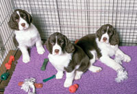 English Springer Spaniels