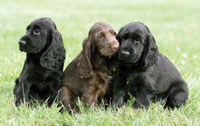 Field Spaniels