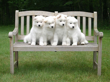 Samoyeds