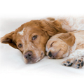 Canine Reproductive Science by Royal Canin