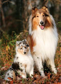 Collies