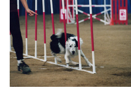 Dog weaving poles