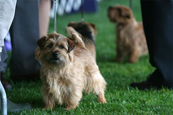 Norfolk Terriers