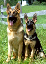 German Shepherd Dosg
