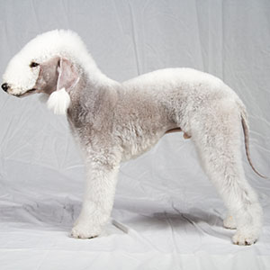 Dog Breeds That Don T Shed American Kennel Club
