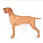 Wirehaired Vizsla