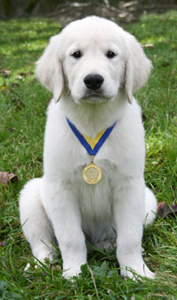 AKC S.T.A.R. Puppy - American Kennel Club