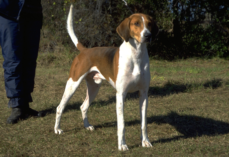 Foxhound, Picture Of Array : American Foxhound Page: American Foxhound Page