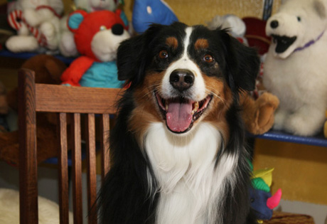 Australian Shepherd - American Kennel Club
