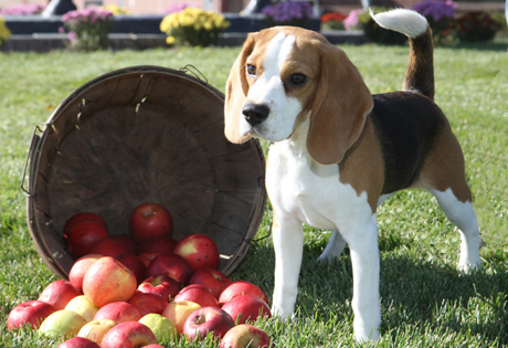 Stubborn Dogs - Dog Breeds - Beagle