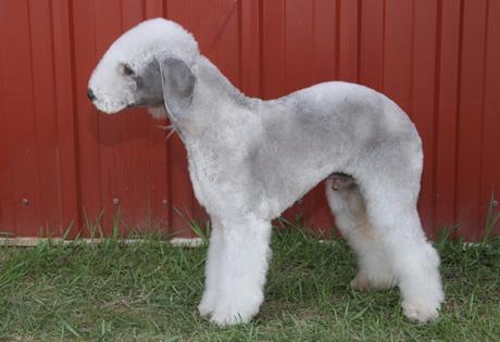 https://images.akc.org/breeds/action_images/bedlington_terrier.jpg