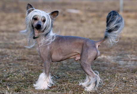 Chinese Crested Page