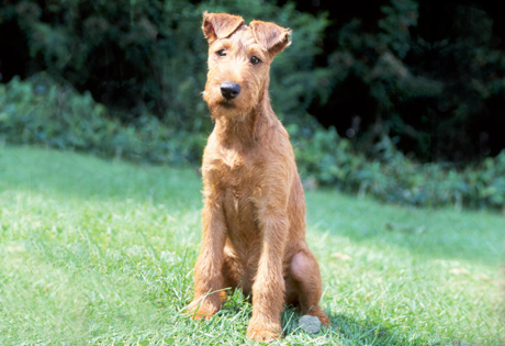 Irish Terrier - American Kennel Club