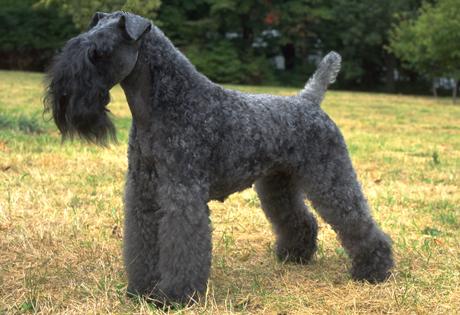 Kerry Blue Terrier - American Kennel Club Xoloitzcuintli
