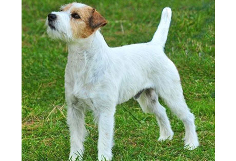 Parson Russell Terrier - American Kennel Club