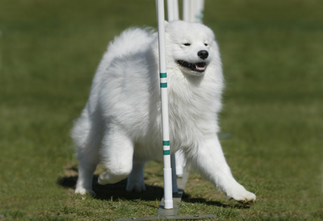 Samoyed Mixed Breeds Right breed for you?