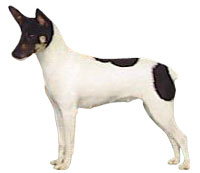 akc rat terrier rat terrier american kennel club 3422