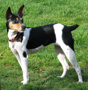 akc rat terrier love dog about rat terrier 7219