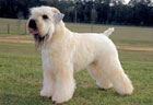 Soft Coated Wheaten Terrier